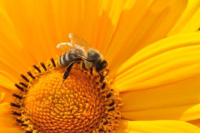hodující včela